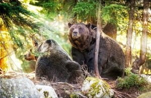Bears At Grouse Mountain BC Summer Drought And Fires May Lead More Wildlife Into Cities