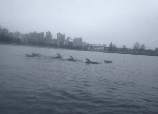Spotted: Dolphins Swimming Through English Bay | VIDEO