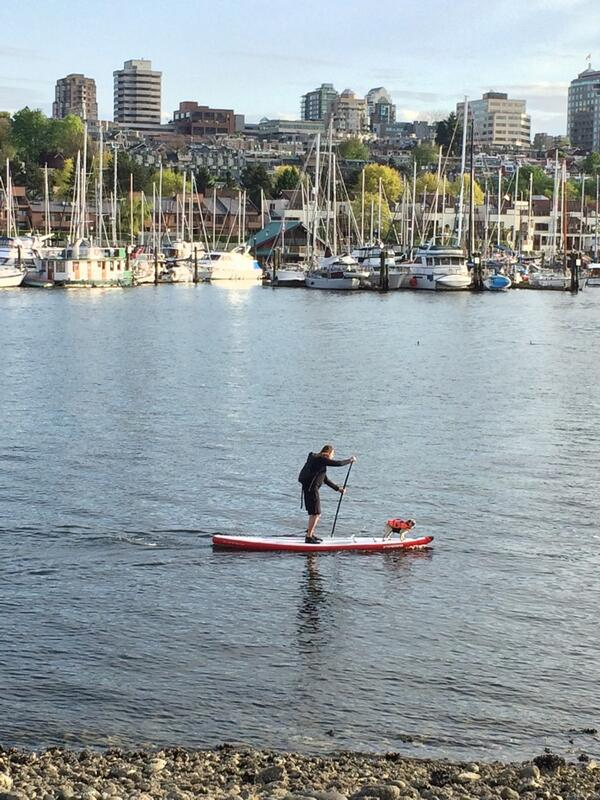 Pug On A Paddleboard Wearing A Life Vest In Vancouver | PHOTO
