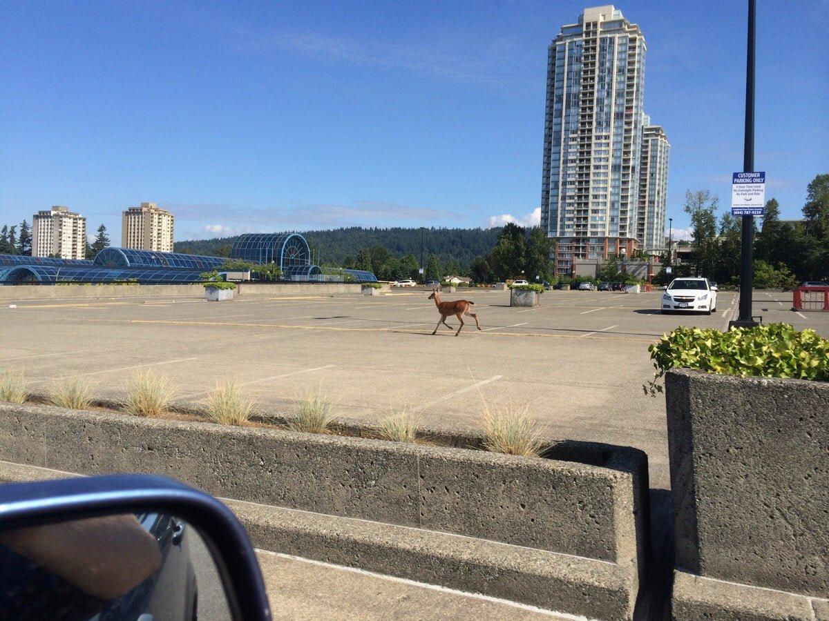 Spotted: Deer Running Across The Lougheed Mall Parkade
