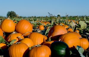 Where to Get a Pumpkin in metro Vancouver