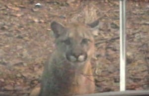 Vancouver Island Captures Rare Cougar Trio Sighting On Video