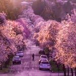 Explore Vancouver Cherry Blossoms On Wheels During Free Bike Tour