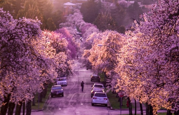 Cherry Blossoms In Metro Vancouver