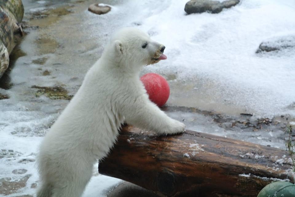 Juno Polar Bear