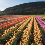 Nearly 1.5-Million Bulbs Blooming at Abbotsford's Tulip Festival