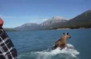 Moose riding