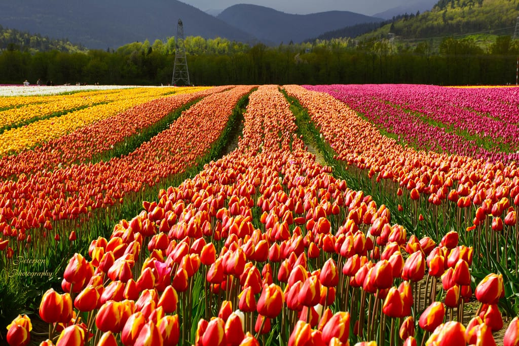 Spring 2017 fashion week dates - Explore The Abbotsford Tulip Festival This Spring 604 Now