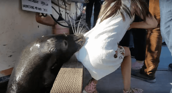 Killer Sea Lion Drags Girl Into Water in Steveston, Richmond (Video)