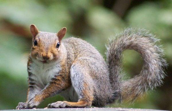 Burnaby Squirrel