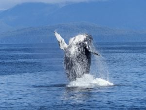 Humpback Whale Crashes With Boat Near Vancouver Island
