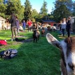 Goat Yoga Vancouver 2017