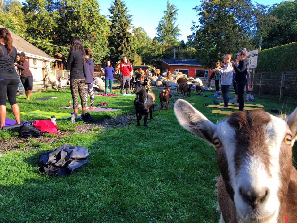 Goat Yoga Is An Actual Thing And You Can Do It Now In North Vancouver