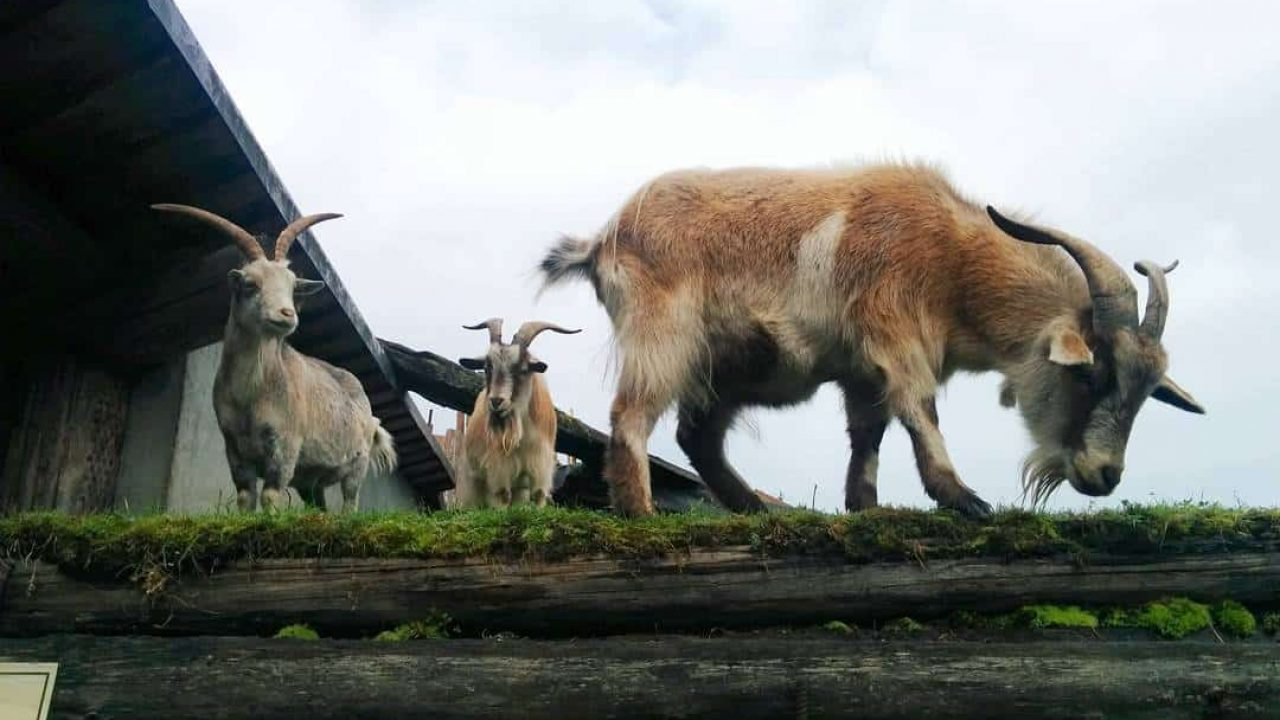 Metro Vancouver To Spend 150 000 On Goats To Maintain Parks