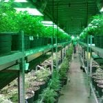 Massive Delta Greenhouse Converted To Produce and Distribute Medicinal Marijuana