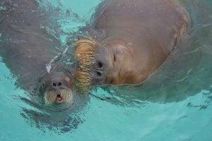 Walrus Calves