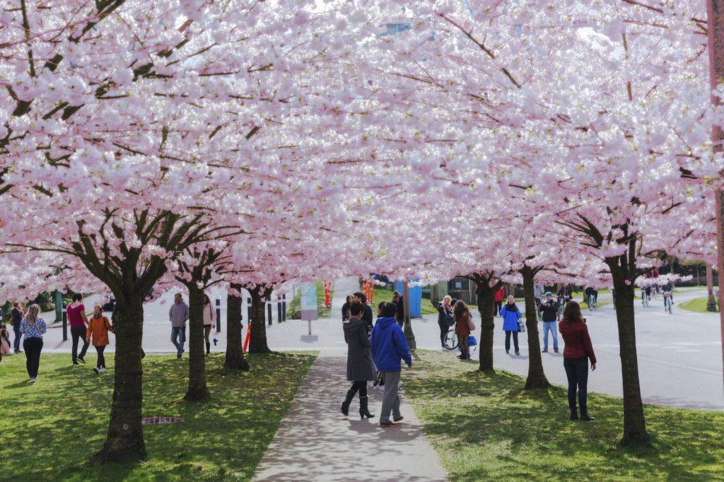Cherry Blossom Festival Vancouver Richmond