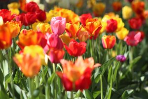 tulip festival - Tulips at Metrotown