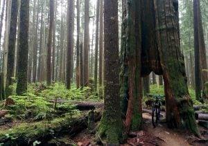hollow cedar tree