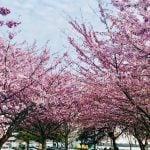 Richmond Cherry Blossom Festival 2019