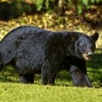 West Vancouver Man Charged After His Family Fed A Bear In The Backyard (VIDEO)