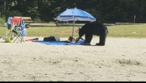 bear steals