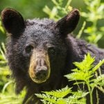 Coquitlam Resident Attacked By Aggressive Black Bear Inside His Garage
