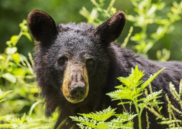 Coquitlam black bear