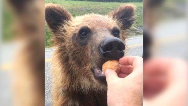 bc bear timbits
