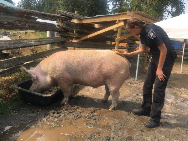 Langley Pig