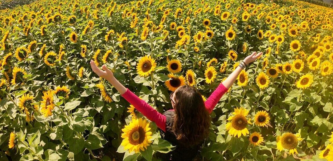 Chilliwack Sunflower Festival