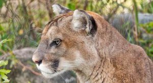 Vancouver Island Cougar