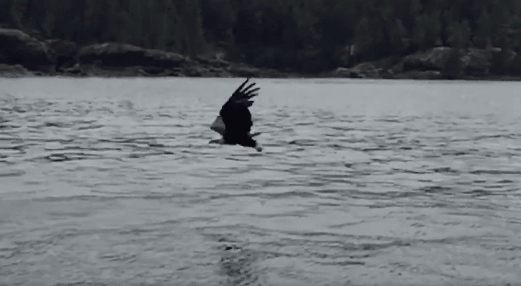 bald eagle snatched fish