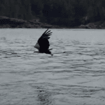 Watch a Bald Eagle Dive To Snatch a Fish Out Of The Water (VIDEO)