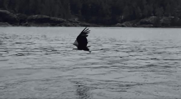 bald eagle snatched fish