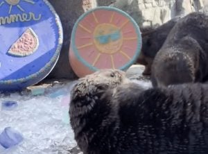 These Adorable Sea Otters Had Quite The Time With Their Summer Treats (VIDEO)