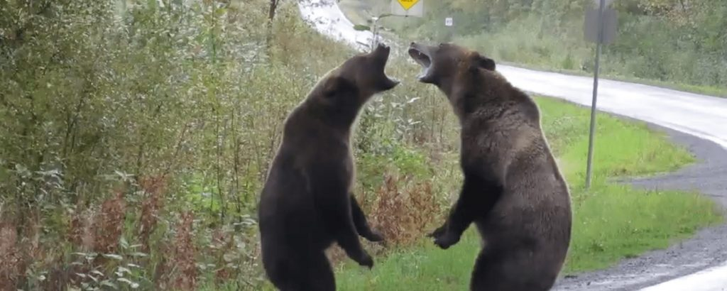 bears fighting in BC