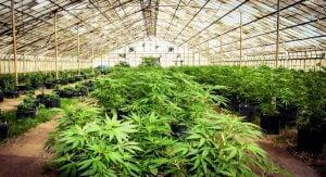 Cannabis destroy