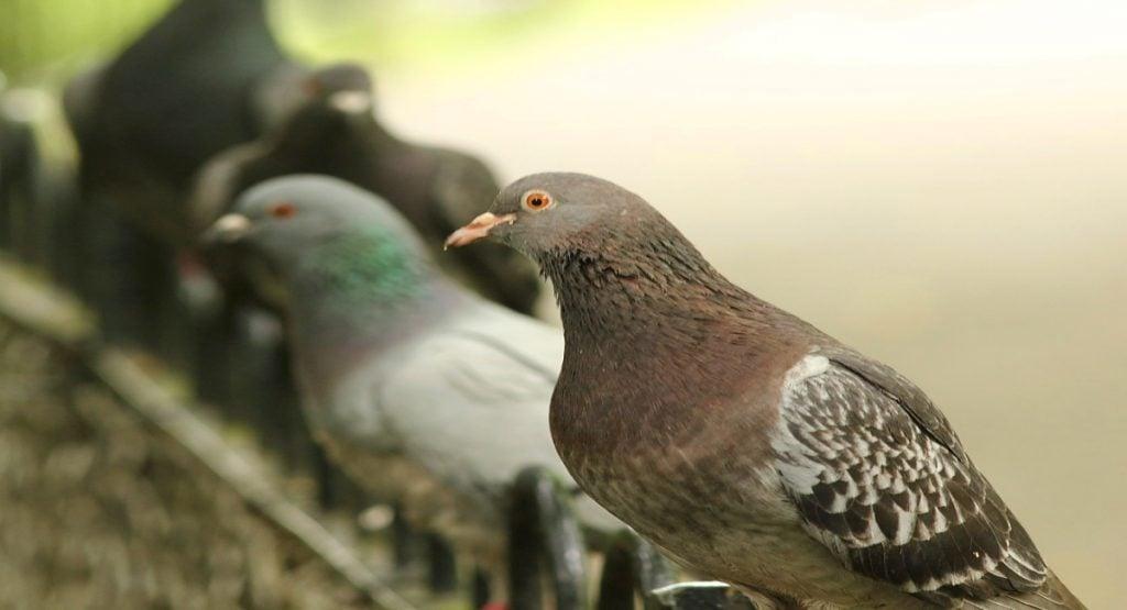 Pigeon owner
