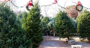 B.C Christmas Trees are at a shortage
