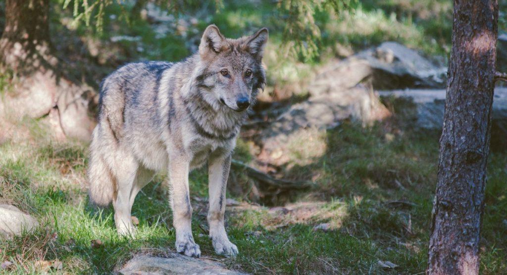 B.C. Coyotes