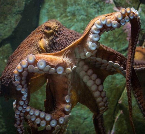 Henry octopus