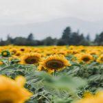 Cultus Lake Flower Festival 2020