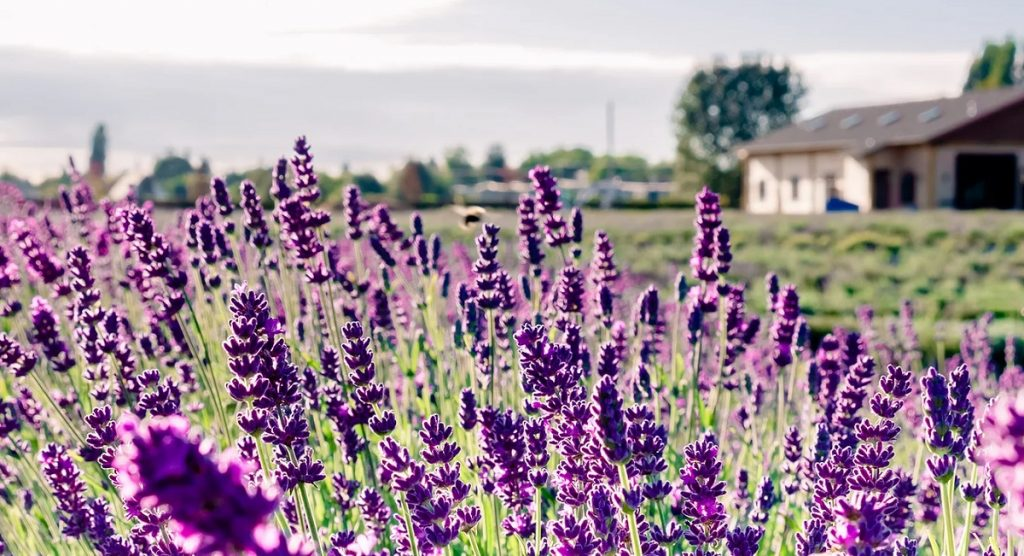 Lavenderland