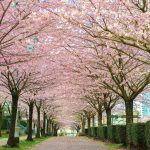The Vancouver Cherry Blossom Festival Returns This Spring