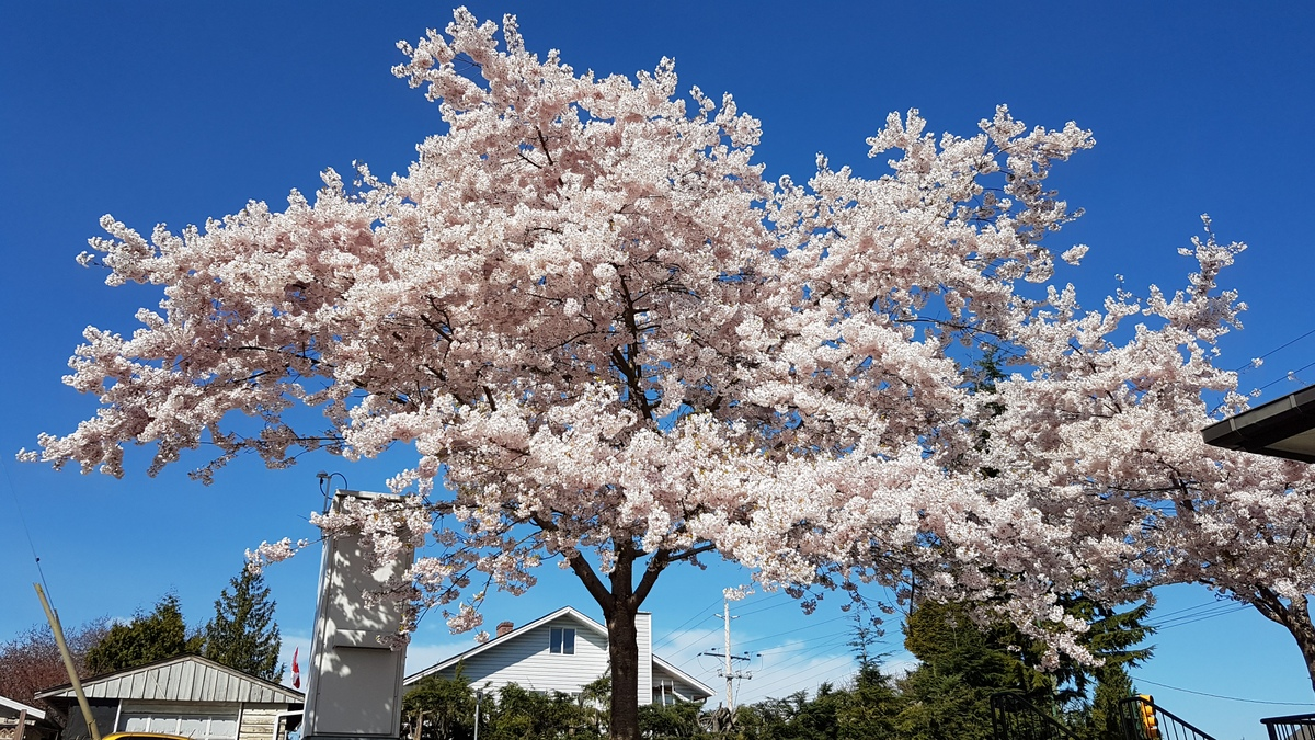 cherry blossoms tricities coquitlam
