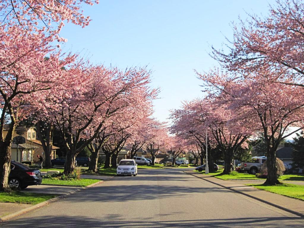 cherry blossoms surrey