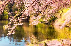 cherry blossoms Burnaby