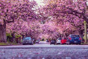 cherry blossoms new westminster
