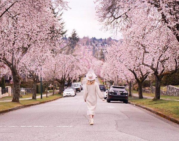 cherry blossoms metro vancouver
